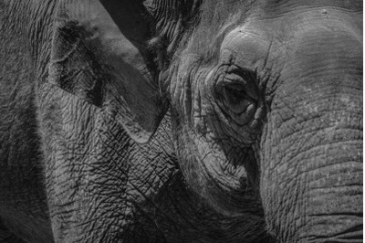 Elephant #1 Black and white Nature Stock Photography