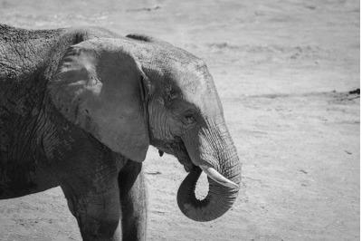 Elephant #2 Black and white Nature Stock Photography