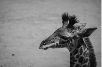 Giraffe - Black and white Nature Stock Photography