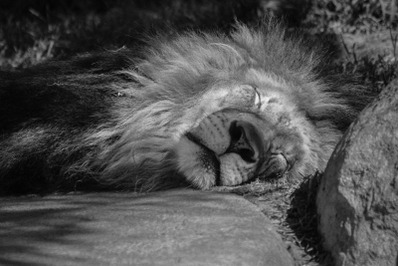 Lion - Black and white Nature Stock Photography