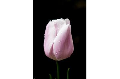 Tulip #2 - Nature Stock Photography