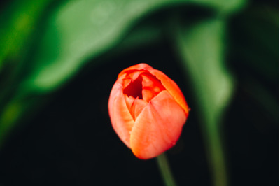 Tulip #6 - Nature Stock Photography