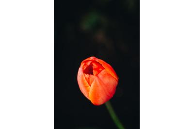 Tulip #8 - Nature Stock Photography