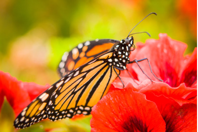 Monarch Butterfly #2 - Nature Stock Photography