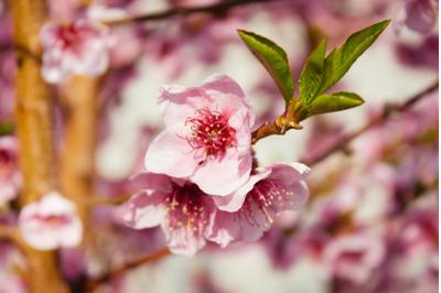 Tree Blossom #2 - Nature Stock Photography