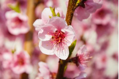 Tree Blossom #4 - Nature Stock Photography