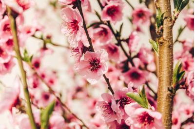 Tree Blossom #5 - Nature Stock Photography