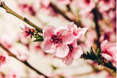 Tree Blossom #7 - Nature Stock Photography