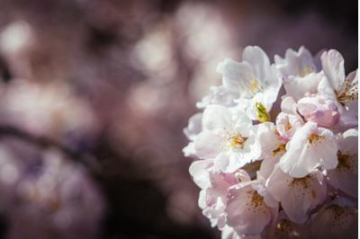 Tree Blossom #12 - Nature Stock Photography