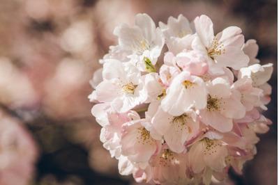 Tree Blossom #15 - Nature Stock Photography