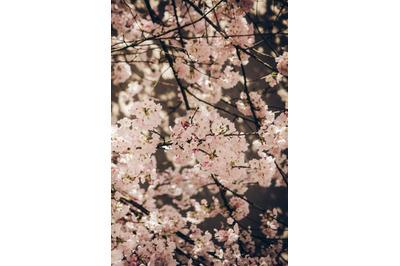 Tree Blossom #16 - Nature Stock Photography