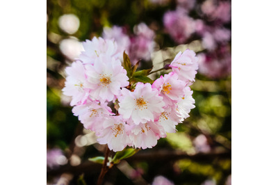 Tree Blossom #18 - Nature Stock Photography