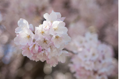 Tree Blossom #19 - Nature Stock Photography