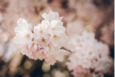Tree Blossom #20 - Nature Stock Photography