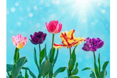 Colorful tulips bouquet on blue. Spring nature background
