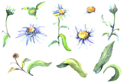 Daisy/chamomile Watercolor png