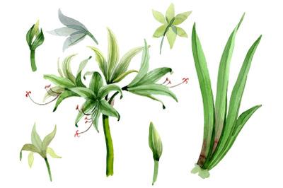 Amarilis watercolor png