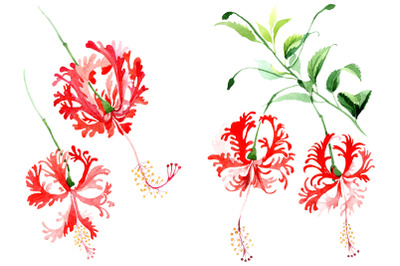 Hibiscus schizopetalon red Watercolor png