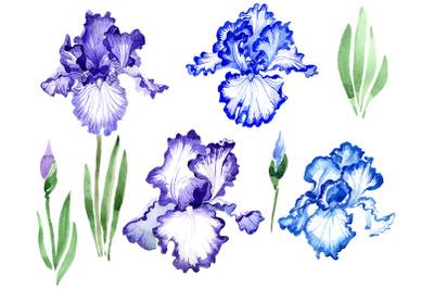 Iris bearded blue watercolor png