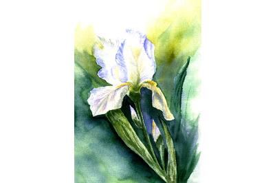 Sketch Iris