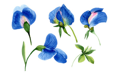 Sweet pea blue Watercolor png