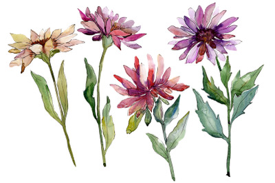 Flower Asters Watercolor png