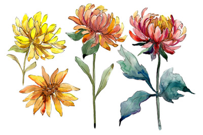 Aster flowers yellow- red watercolor png
