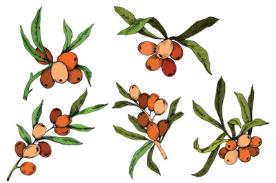 Vector color Hippophae