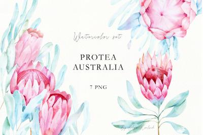 Watercolor Protea flowers. Tropical Clip art.
