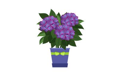 Hydrangea house plant