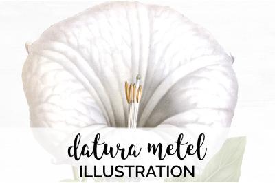 Flowers - Datura Metel Vintage Clipart Graphics