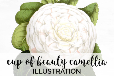 Flowers - Cup of Beauty Camellia Vintage Clipart Graphics