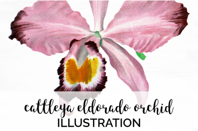 Orchid Clipart