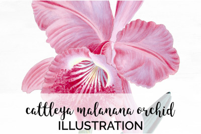 Flowers - Cattleya Malanana Oorchid Vintage Clipart Graphics