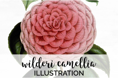 Flowers - Wilderi Camellia Vintage Clipart Graphics