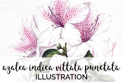 Flowers - Azalea Indica Vittata Punctata Vintage Clipart Graphics