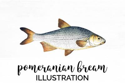 Fish - Pomeranian Bream Vintage Clipart Graphics