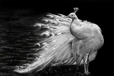 White peacock posing
