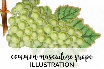Grapes Fruit Clipart
