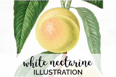 Nectarine Fruit Clipart
