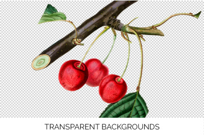 Cherry Fruit Clipart