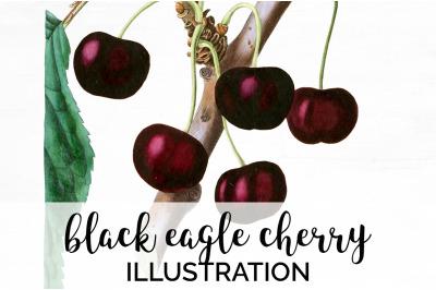 Fruit - Black Eagle Cherry Vintage Clipart Graphics