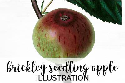 Fruit - Brickley Seedling Apple Vintage Clipart Graphics