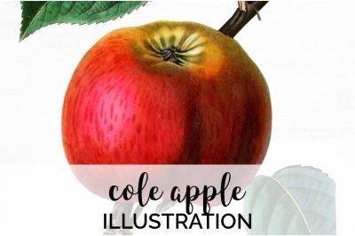 Fruit - Cole Apple Vintage Clipart Graphics