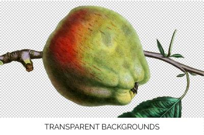 Fruit - Cornish Gilliflower Apple Vintage Clipart Graphics