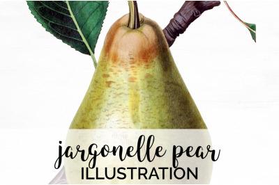 Fruit - Jargonelle Pear Vintage Clipart Graphics
