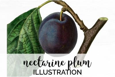 Fruit - Nectarine Plum Vintage Clipart Graphics
