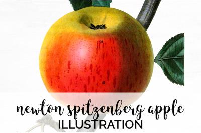 Fruit - Newton Spitzenberg Apple Vintage Clipart Graphics