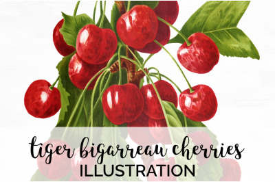 Fruit - Tiger Bigarreau Cherries Vintage Clipart Graphics