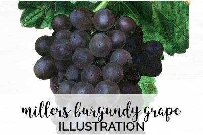 Fruit - Millers Burgundy Grape Vintage Clipart Graphics